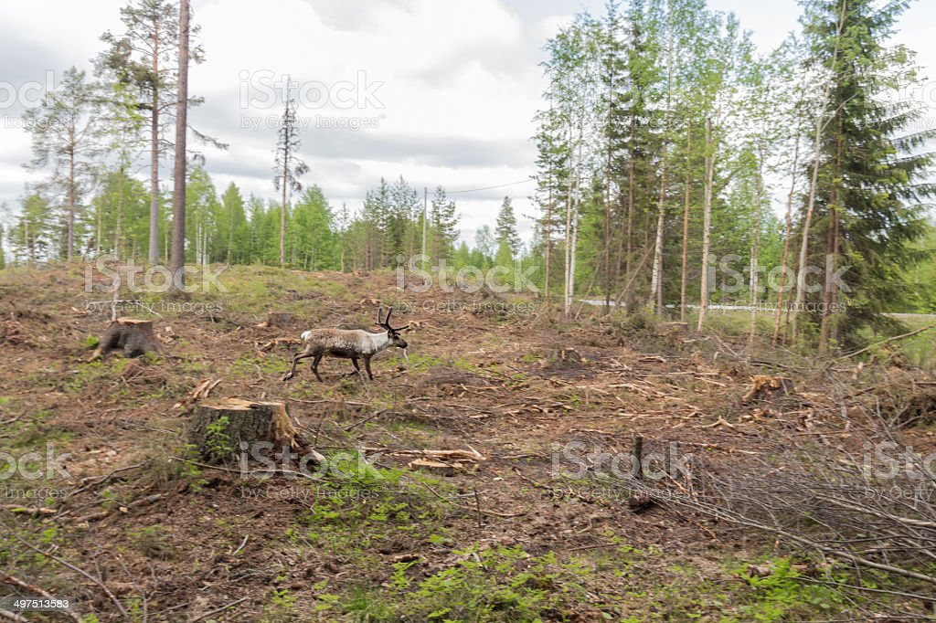 Reindeer in a deforestation area runs for the escape road royalty-free stock photo