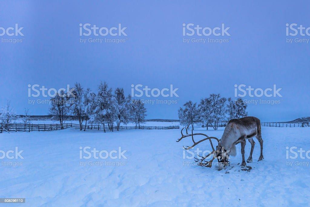 Reindeer in Lappland stock photo