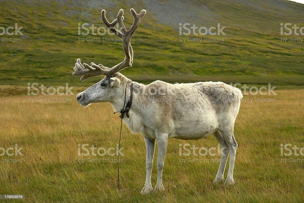 Reindeer in northwest Siberia, Polar Ural mountains stock photo