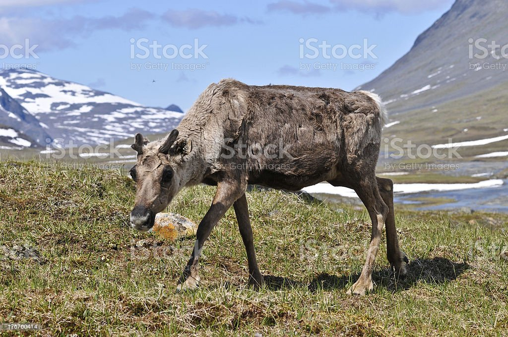 Reindeer in Sarek National Park stock photo