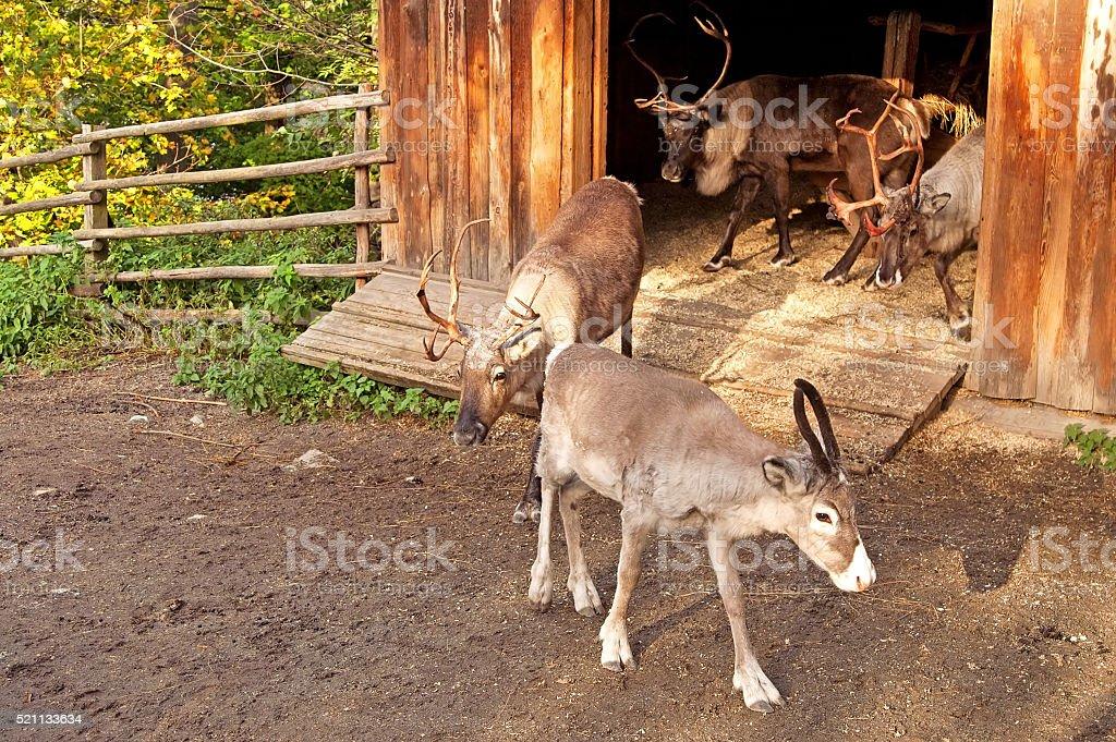 Reindeer in Skansen, Stockholm, Sweden stock photo