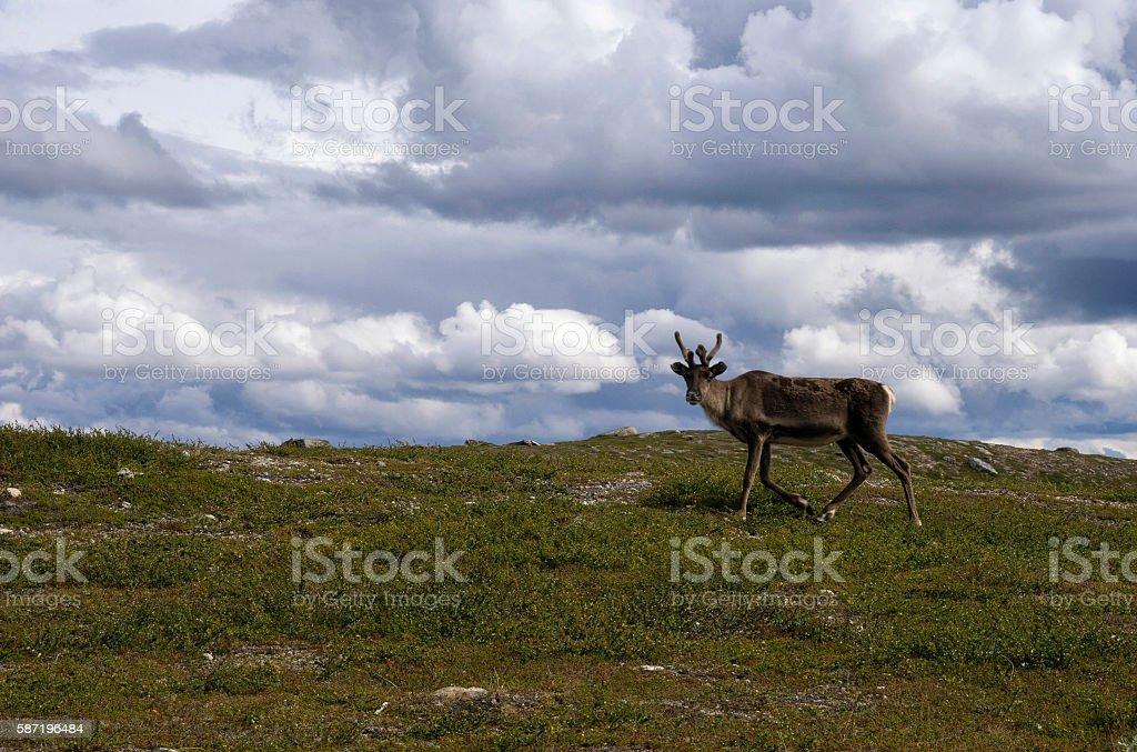 Reindeer in Sweden stock photo