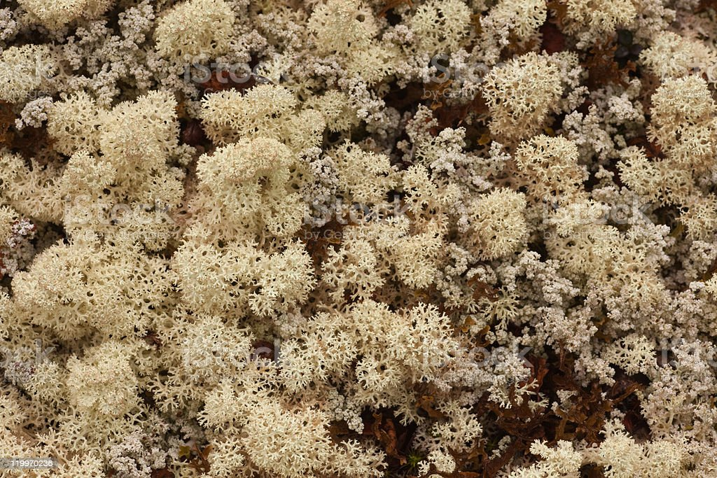Reindeer Lichens royalty-free stock photo