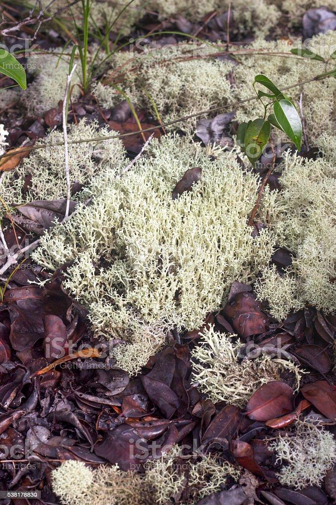 Reindeer moss in amazonian area in Brazil stock photo