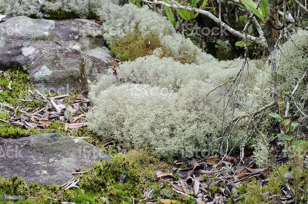 Reindeer moss royalty-free stock photo