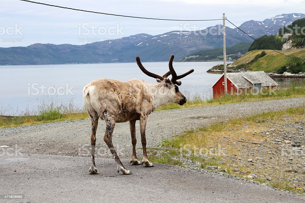 reindeer on the road royalty-free stock photo