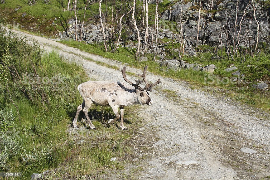 reindeer royalty-free stock photo