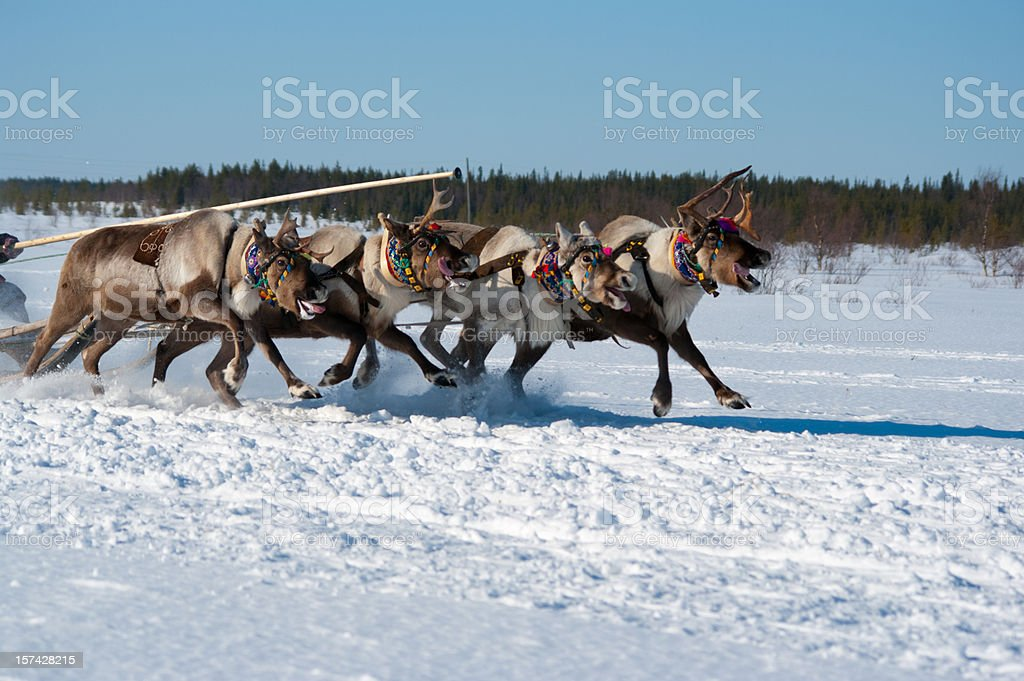Reindeer race stock photo