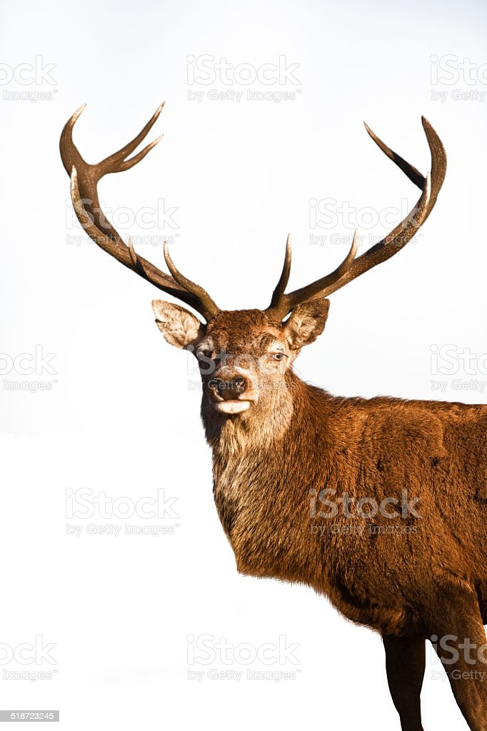 Reindeer standing over white background stock photo
