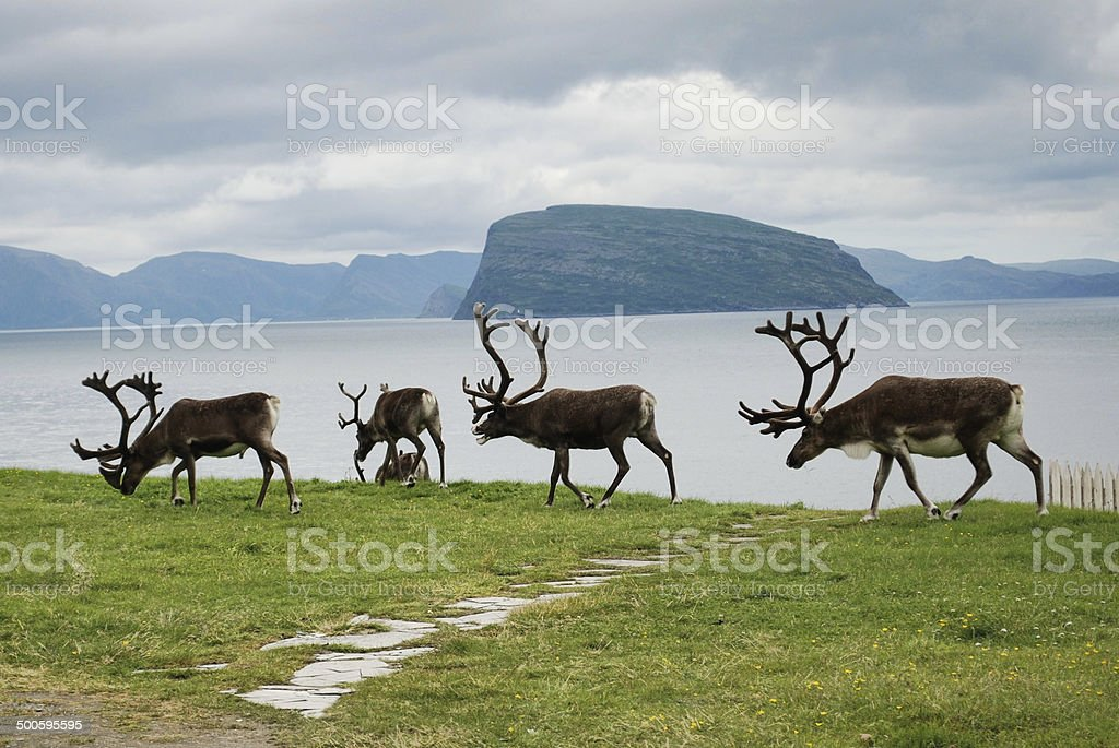 Reindeer strolling along water in in Hammerfest stock photo