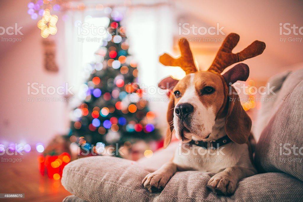 Rudolph, the red-nosed beagle dog stock photo