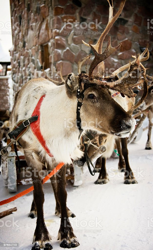Reindeer wearing red harness in snow stock photo