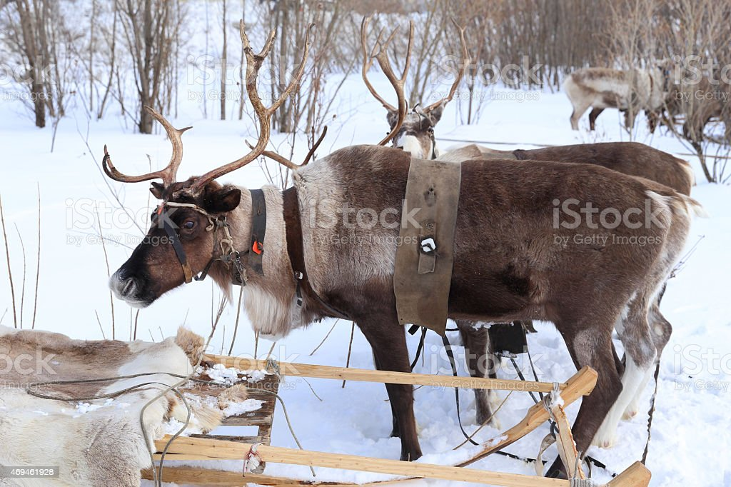 Reindeer with horns in a team stock photo