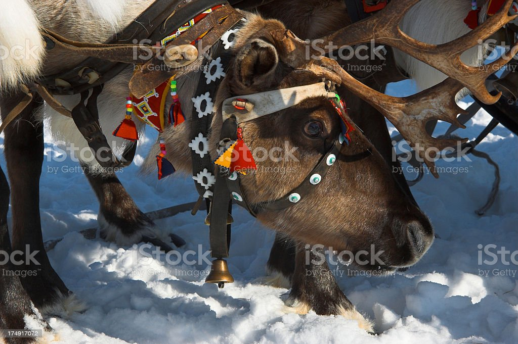 Reindeer with horns royalty-free stock photo