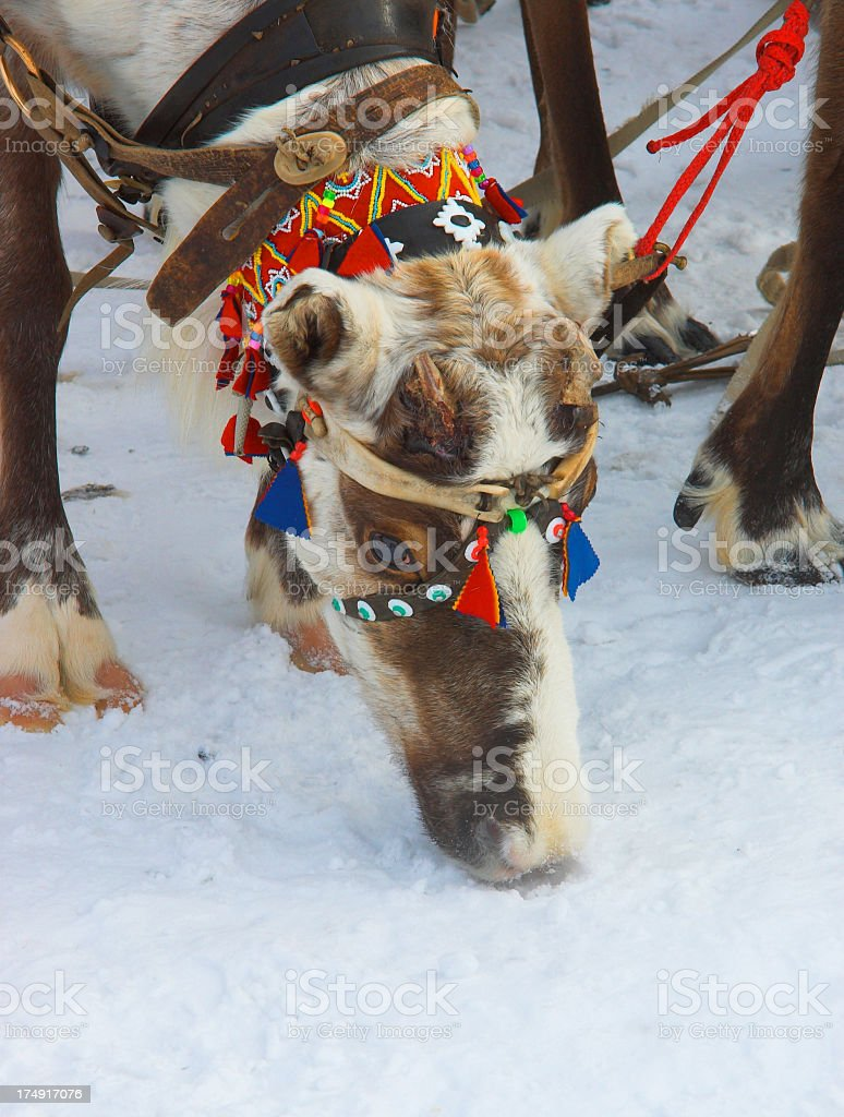Reindeer without horns eating snow royalty-free stock photo