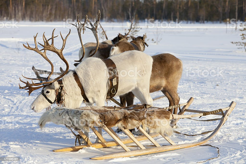 Reindeers in harness royalty-free stock photo
