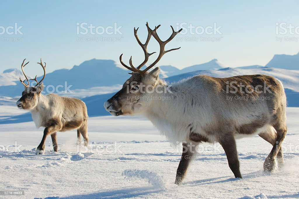 Reindeers in natural environment, Tromso region, Northern Norway. stock photo