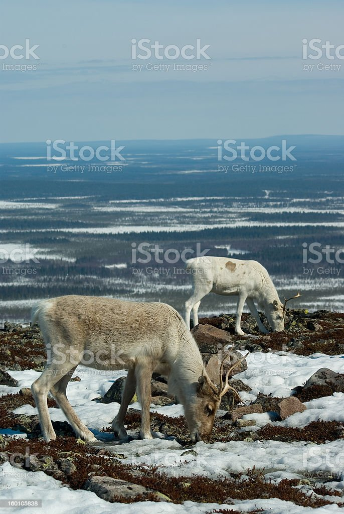 Reindeers in the mountain stock photo
