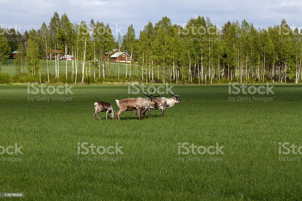 Reindeers on the field royalty-free stock photo