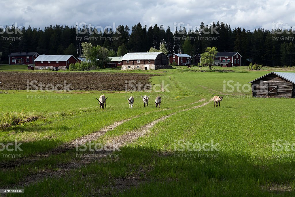 Reindeers on the path royalty-free stock photo