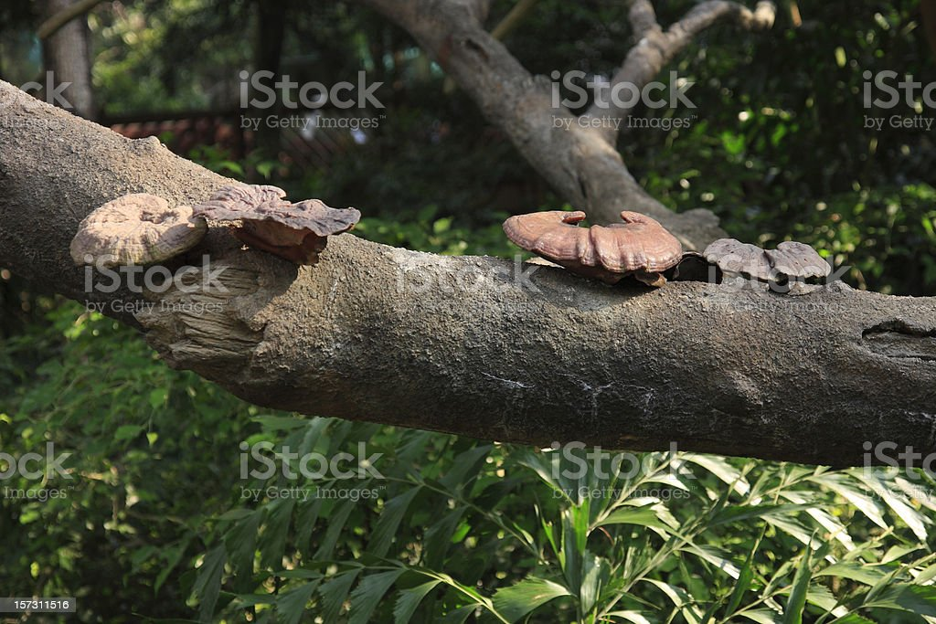 Reishi Growing at a Tree royalty-free stock photo