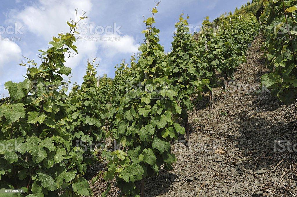 Reisling grape vines growing on the slopes of Rheinland Germany stock photo