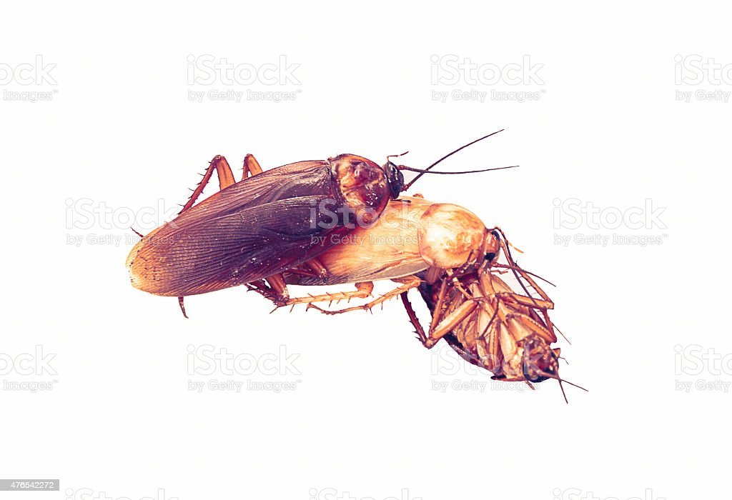 Relationship concept : Cockroach make love threesome on white ba stock photo