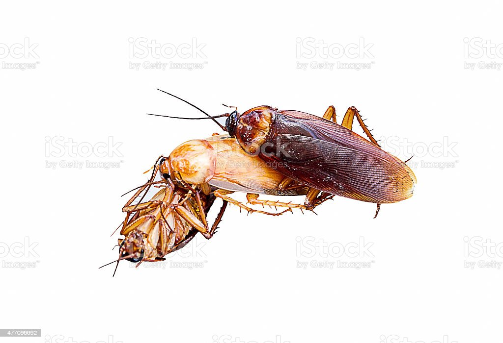 Relationship concept : Cockroach make love threesome stock photo