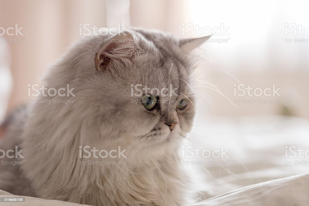 Relax white persian cat on bed stock photo