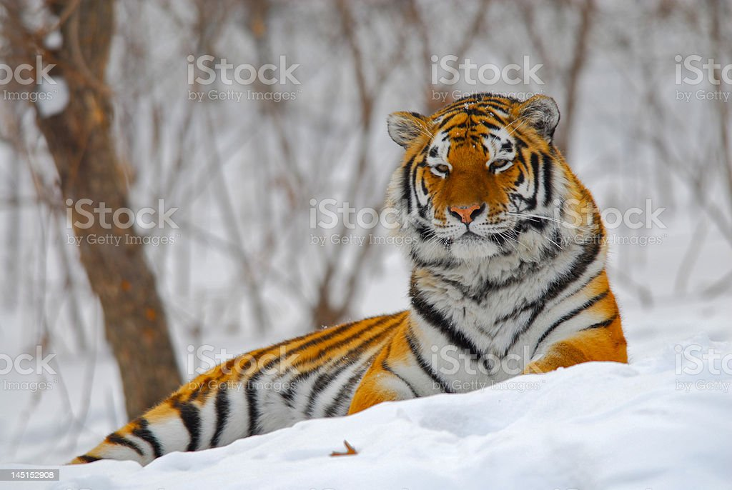 Relaxed Amur (Siberian) Tiger royalty-free stock photo