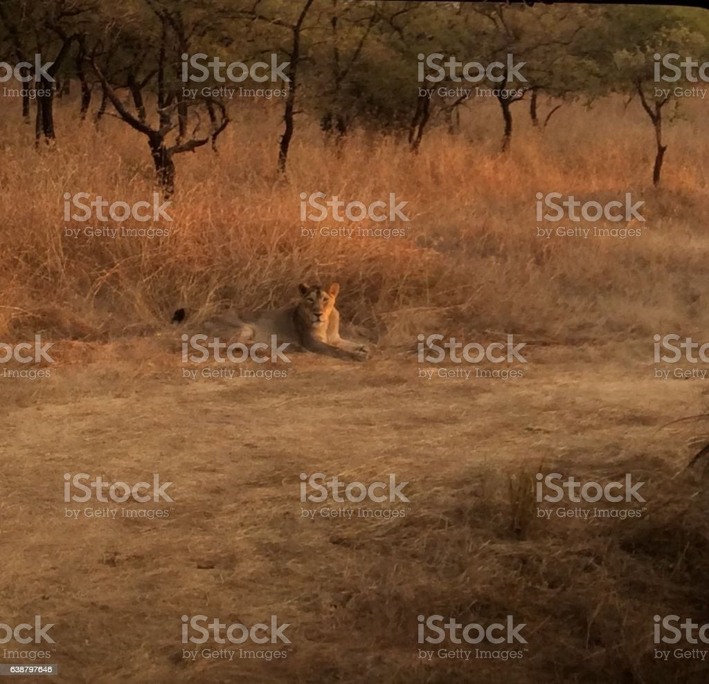 Relaxed Lioness stock photo