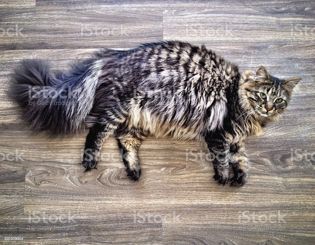 Relaxed Maine Coon cat stock photo