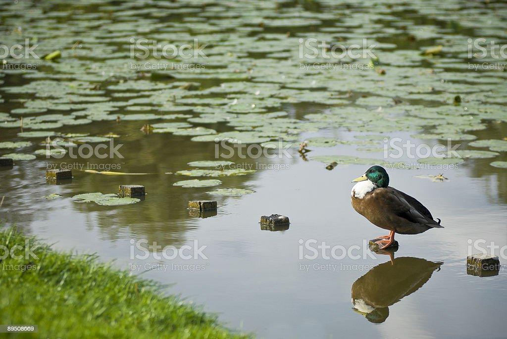 Relaxed Mallard stock photo