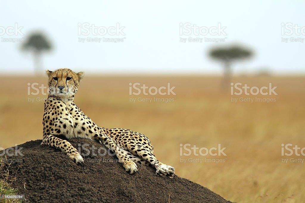 A relaxed Masai Mara cheetah lay on some soil stock photo