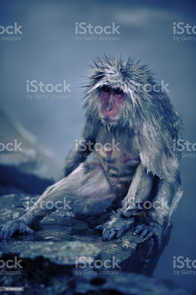 Relaxed monkey in hotsprings stock photo
