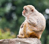 Relaxed, napping, meditating Rhesus Monkey