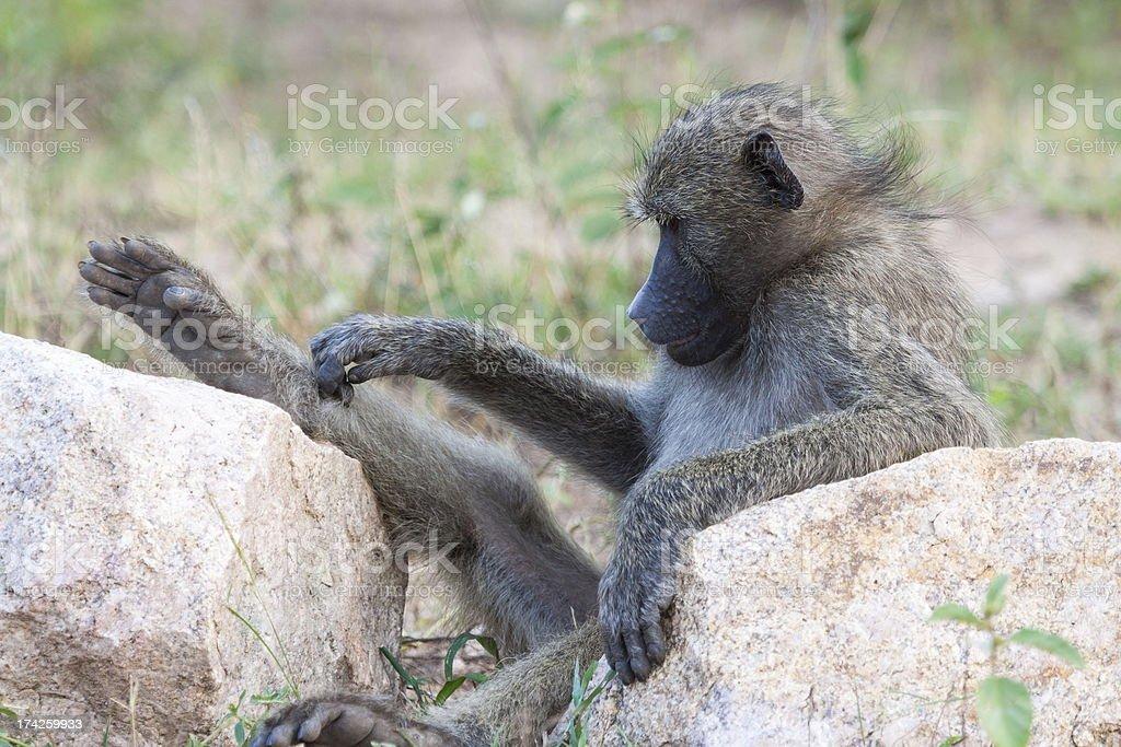 Relaxing Baboon stock photo