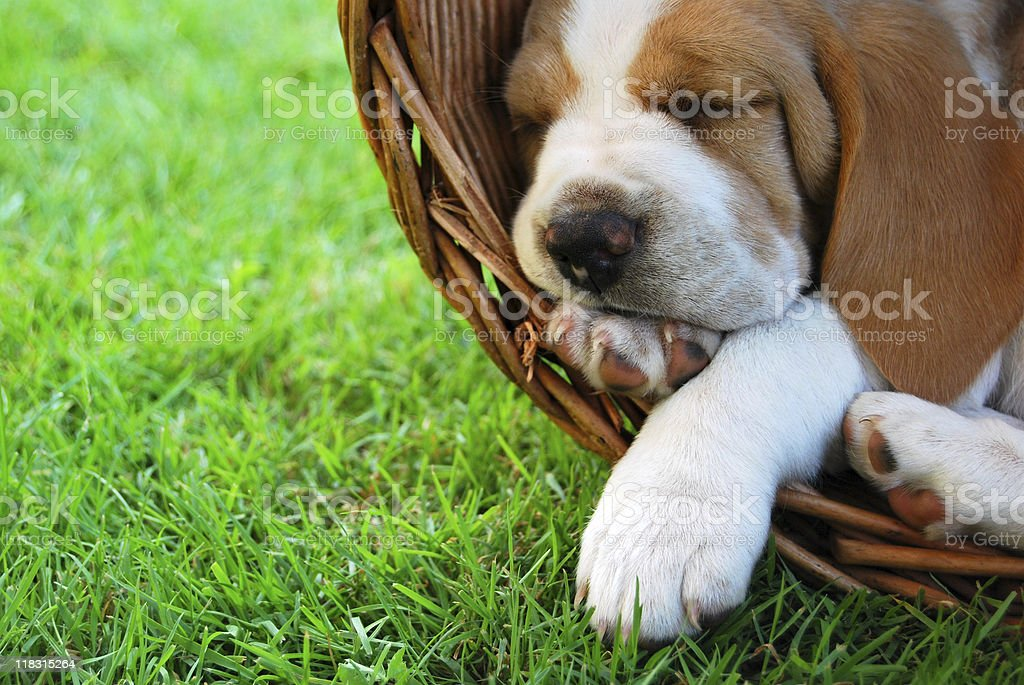 Relaxing Beagle puppy stock photo