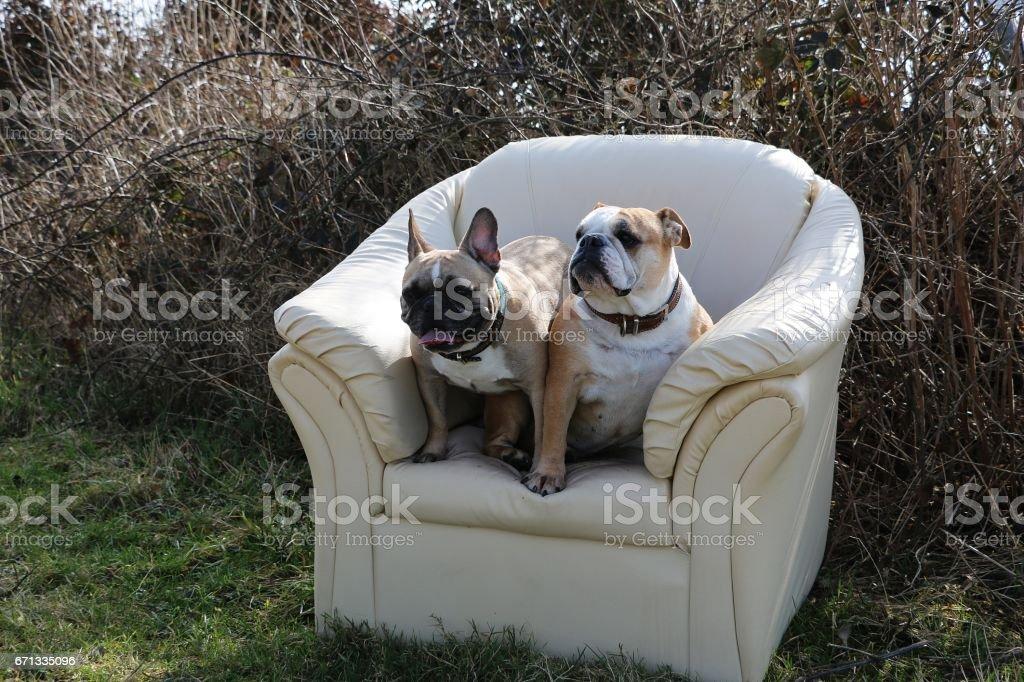 relaxing bulldogs stock photo