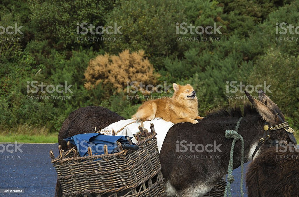 Relaxing Dog on a Mule royalty-free stock photo