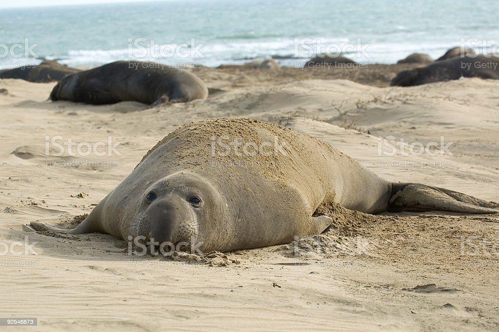 Rilassante Elefante marino foto stock royalty-free