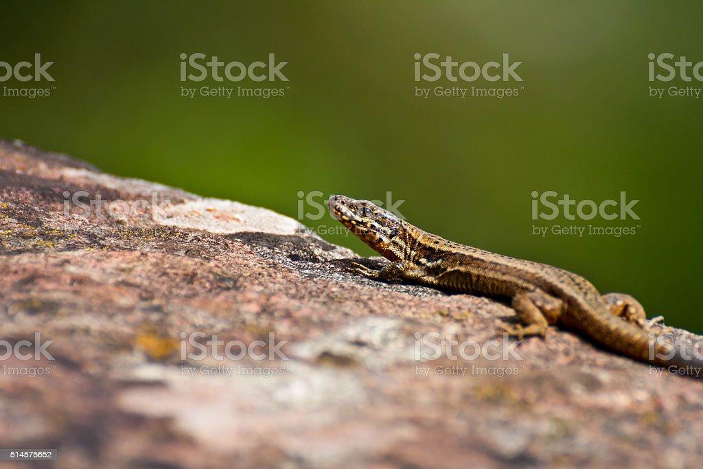 Relaxing Lizard stock photo