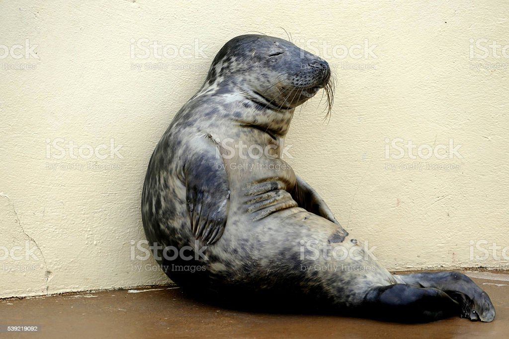Relaxing Seal. stock photo