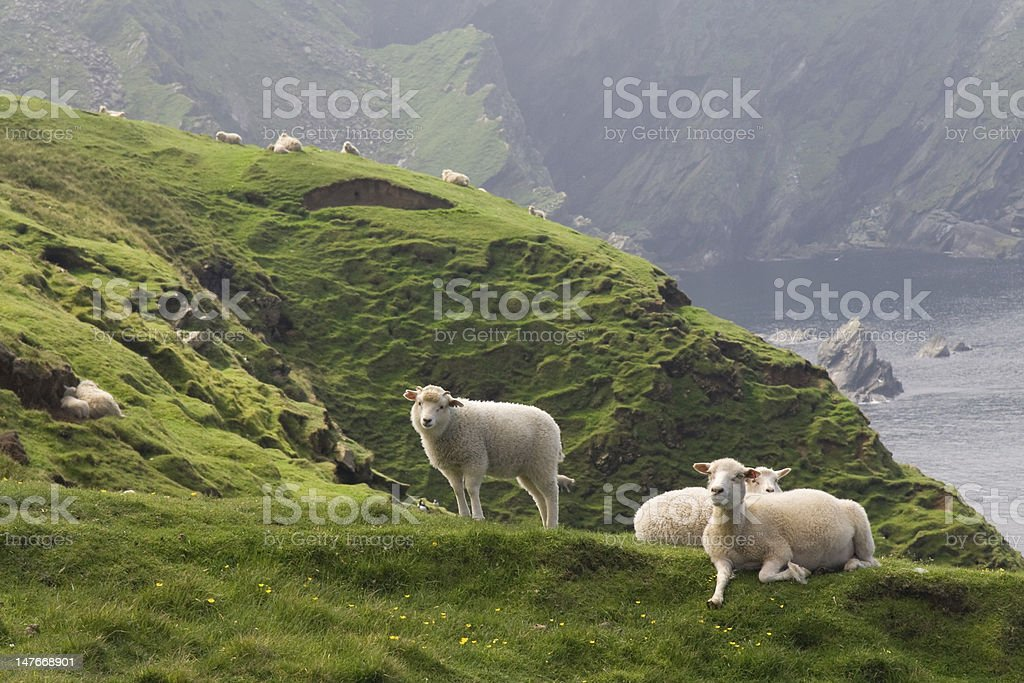relaxing sheep at the coastline of shetland islands stock photo