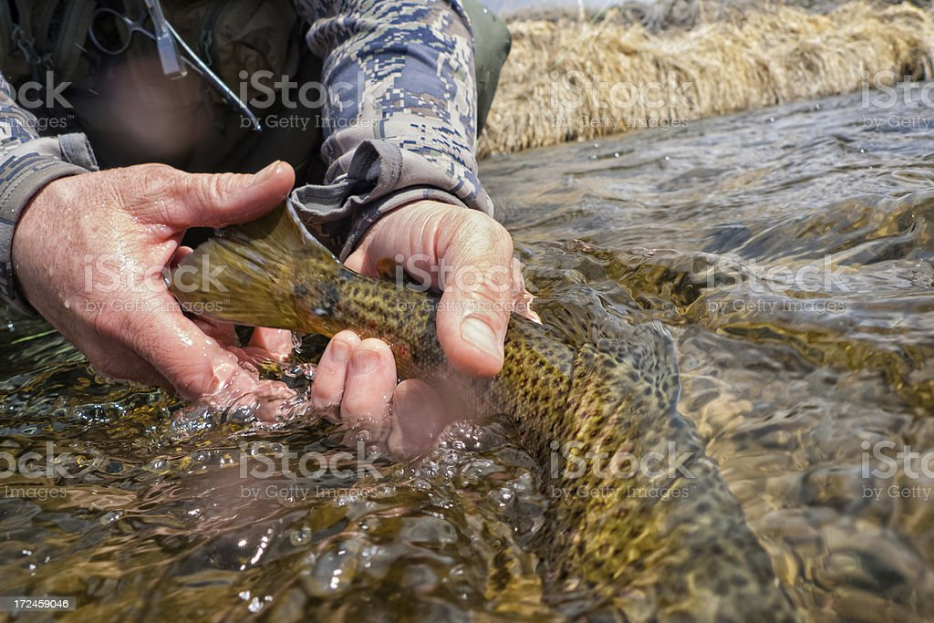 Releasing a Brown Trout into Stream royalty-free stock photo