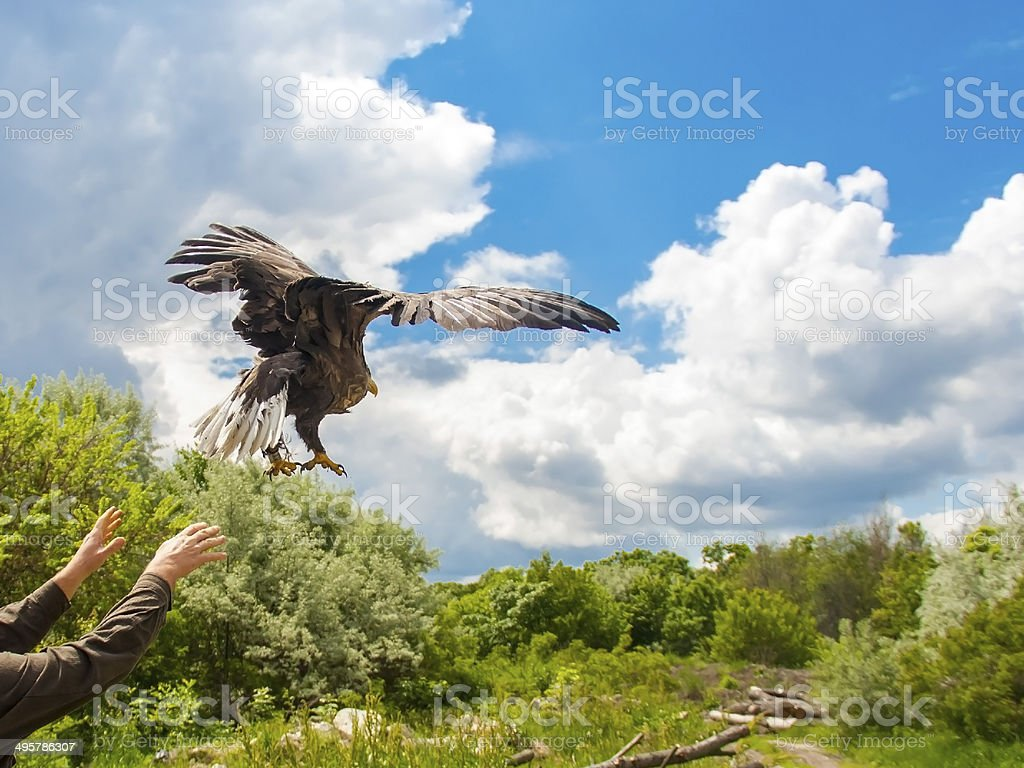 Releasing a white-tailed eagle (Haliaeetus albicilla) stock photo