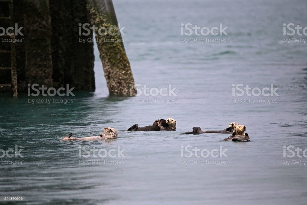 Releaxing Otter stock photo