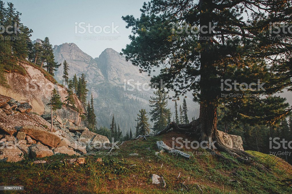 Relic old pine in foreground. Dawn in mountain forest stock photo