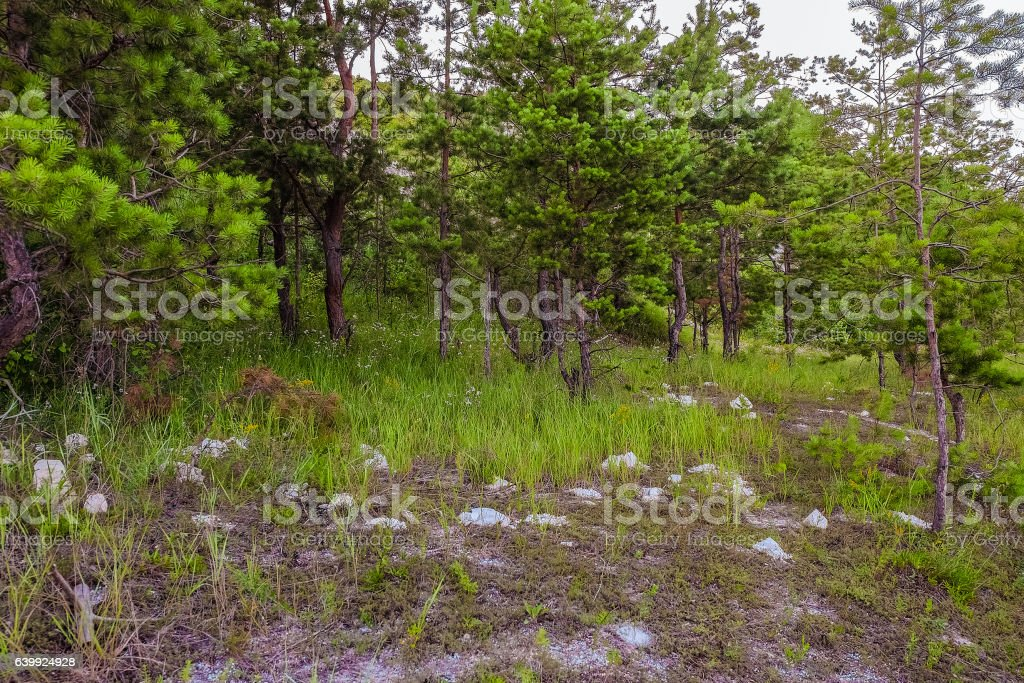 Relic pine cretaceous chalk outcrops on the hill stock photo