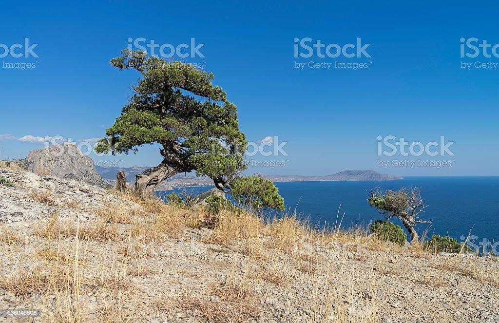 Relict juniper tree against a blue cloudless sky. Crimea. stock photo